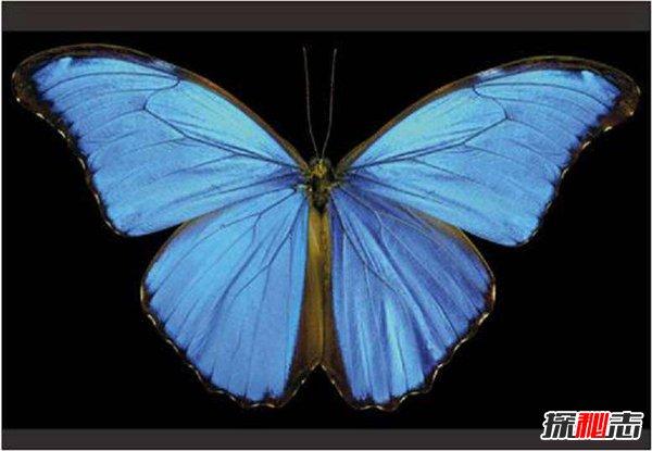 藍閃蝶簡介 藍閃蝶真的會發光嗎