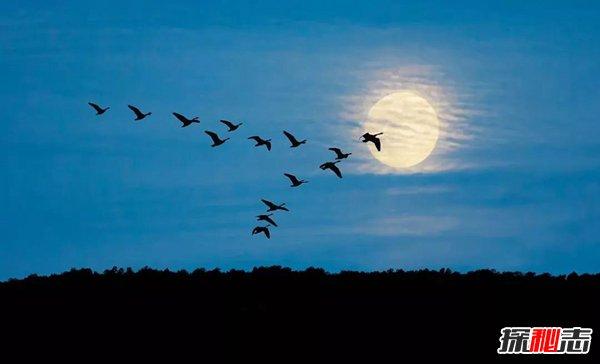 雁陣效應的意思 雁陣效應對生活有哪些啟示