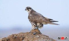 世界上最昂贵的十种鸟 猎隼极其罕见最贵价值100万美元