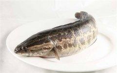 黑魚為(wei)什(shi)麼稱為(wei)孝(xiao)魚 黑魚被稱為(wei)孝(xiao)魚主要原因是什(shi)麼
