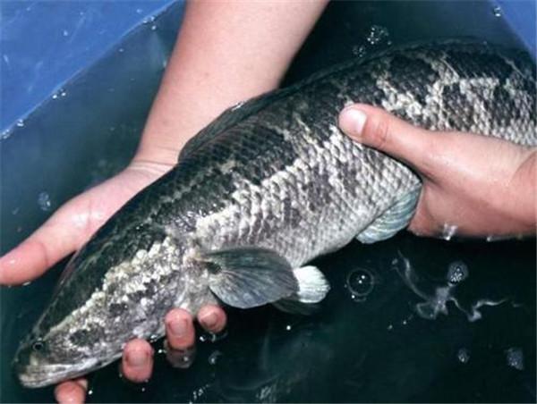 黑魚是蛇進化過來的嗎?黑魚為(wei)什(shi)麼長(chang)得那麼像蛇