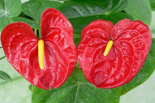 红掌有毒吗盆栽图片