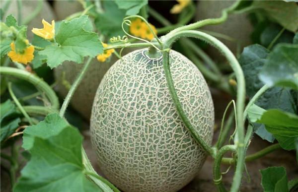 哈密瓜的热量 哈密瓜减肥图片