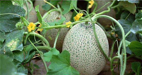 哈密瓜的热量是多少大卡图片