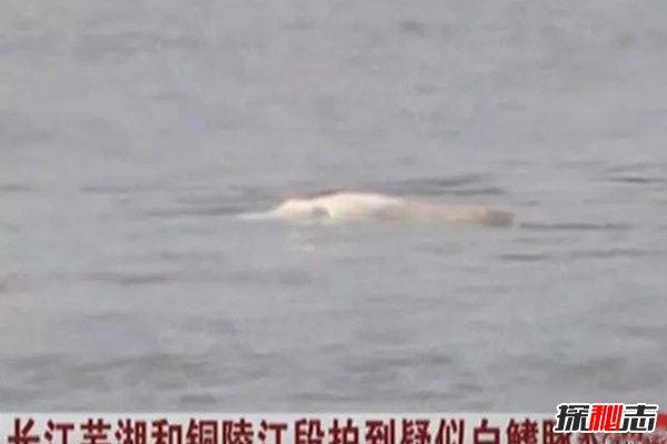 """2018白鳍豚又发现了,灭绝11年的""""水中熊猫""""重现人世"""