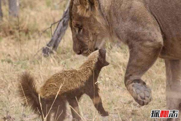 动物界三大扛把子:第1平头哥狮子都不怕,第3鬣狗爱掏肛