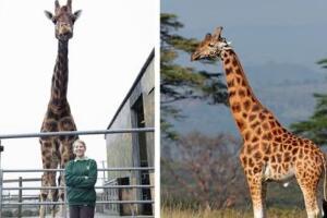 世界最高长颈鹿,高达6米(世界上最大长颈鹿/太高被嫌弃)