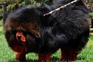 中国藏獒十大獒王排名,第一藏獒惊天兽最屌/最有名的藏獒