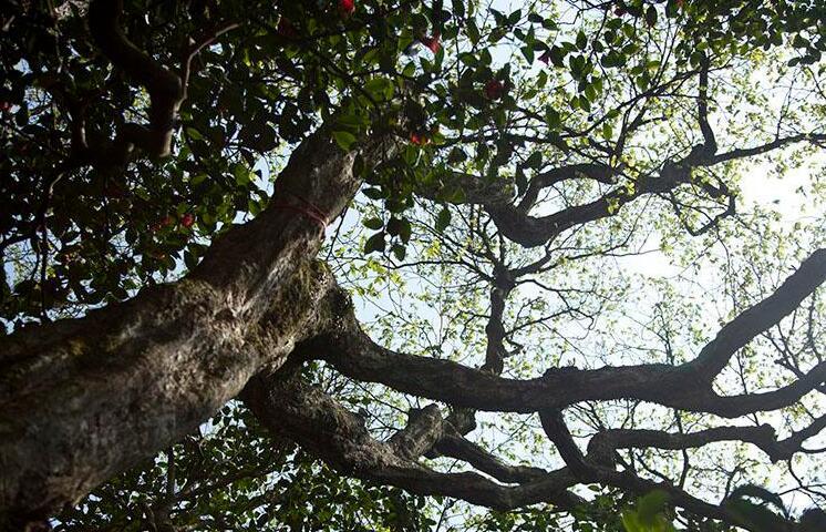 世界上最稀有的树:普陀鹅耳枥,全球仅此一颗(观音所种)