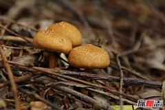 世界上最大的生物 蜜环菌面积9.6平方千米重达110吨