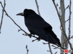 世界上最聪明的鸟 秃鼻乌鸦智商超高相当亲人