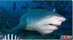 世界凶猛淡水鱼排行 公牛鲨爱好打斗性格暴躁会攻击人类