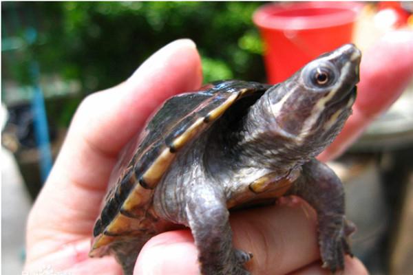 世界上体型最小的龟 迷你麝香龟有什么特征