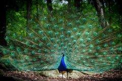 世界上最好看的鸟:开屏的孔雀惊艳众生(绿孔雀稀少)