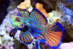 世界上最好看的鱼:青蛙鱼颜色五彩缤纷(极难人工饲养)