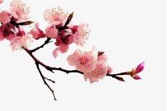 世界上最好看的花:一任群芳妒的傲骨梅花(独树一帜)