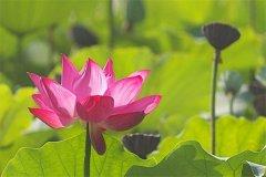 世界上最好看的莲花品种:埋藏千年依然绽放的古荷花