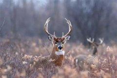 麋鹿是四不像吗:麋鹿是四不像(国家一家保护动物)