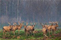 麋鹿是国家几级保护动物:国家一级保护动物(濒临灭绝)