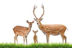梅花鹿是反刍动物吗:梅花鹿是反刍动物动物(数量稀少)