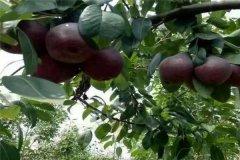 世界上最奇特的水果:内外皆黑色的巧克力柿子(营养高)