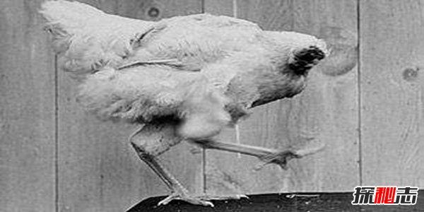 美国无头鸡麦克18个月不死之谜,鸡被砍了脑袋还能不能活?