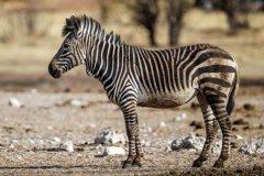山斑马:斑马中体型最小的物种(最早被命名的斑马)