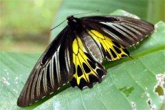 金裳凤蝶是国家几级保护动物 金裳凤蝶的价值是什么