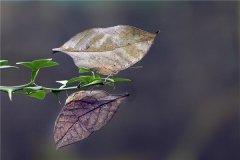 世界上最丑的蝴蝶是什么蝴蝶 这种蝴蝶有什么特别的