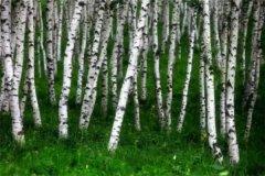 世界上最软的木头是什么 巴沙木(质量轻硬度软)