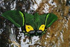 最值钱蝴蝶是什么 金斑喙凤蝶为什么这么值钱