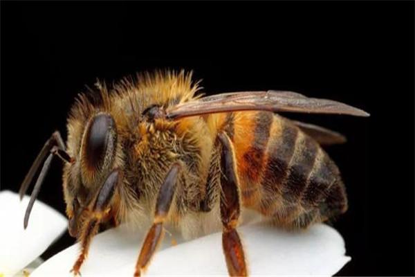 世界上最可怕的毒蜂是什么