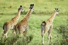 长颈鹿为什么站着睡觉:躺着睡觉不易站起(无法面对危险)