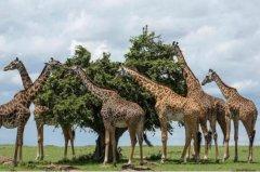 长颈鹿为什么不会发出声音:声音属于次声波(人类听不见)
