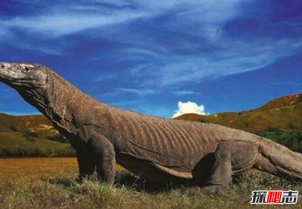 印度洋活恐龙之谜,恐龙并没有全部灭绝(恐龙的后裔科莫多巨蜥)