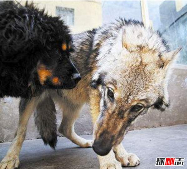 藏獒和狼谁厉害,传说一獒能战五狼是真的吗?