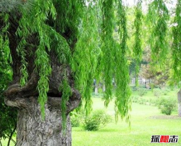 食人柳真吃人?莫昆斯克发现4000多年的食人柳(100米内勿靠近)