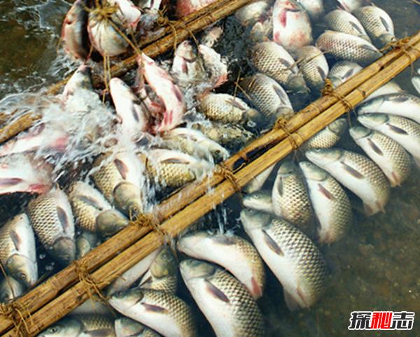 福建弓鱼不死之谜,活鱼离水还能保鲜存活(可达二三十小时)