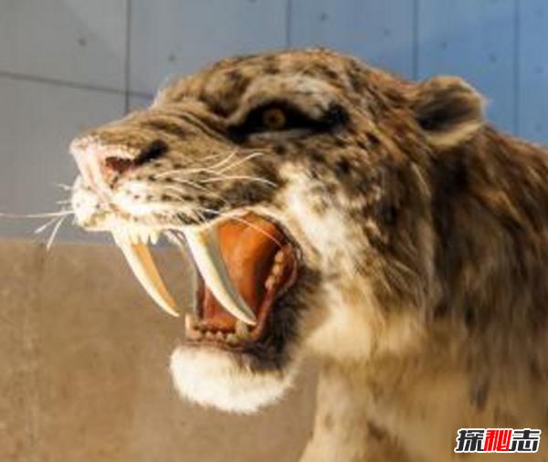 美洲拟狮和剑齿虎_剑齿虎vs残暴狮,谁更强?(残暴狮体重近半吨)_探秘志
