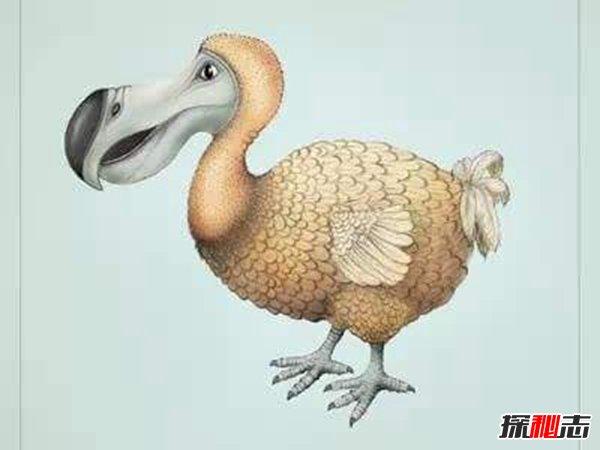 渡渡鸟其实没有灭绝,网友竟拍到渡渡鸟在走