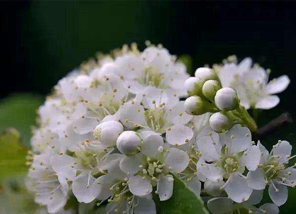 石楠花为什么污 花的气味和精液气味相似(刺激难闻)