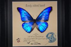 全世界上最漂亮最美丽的一种蝴蝶:海伦娜闪蝶(我国仅3只)