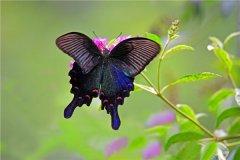 世界上最大的蝴蝶是南美凤蝶吗 南美凤蝶生存在哪里