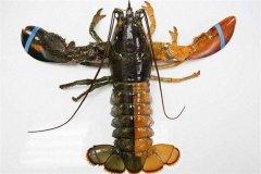 世界上最罕见的龙虾 为什么会出现双色龙虾