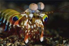 世界上最凶残的虾是什么 雀尾螳螂虾(一拳锤晕其他生物)
