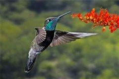 紫喉辉尾蜂鸟:树栖型动物(喜欢炎热环境)
