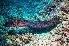 为何海鳗咬到很严重:容易细菌感染(颚部强大)