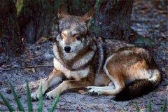 已灭绝的狼:新墨西哥狼(灭绝于1920年)