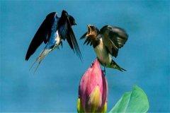 游隼和尖尾雨燕谁飞得最快:尖尾雨燕(飞行速度最快的鸟类)