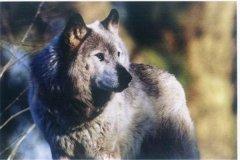 最后一只基奈山狼:北美灰狼中体型最大(已经灭绝)